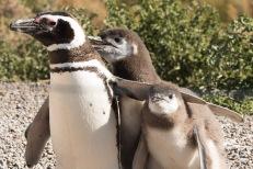 Pinguineira - Punta Tomba