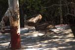 Pelicano comendo