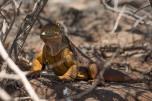 Iguana de terra
