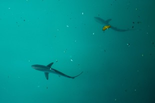 Tubarões na beira do cais