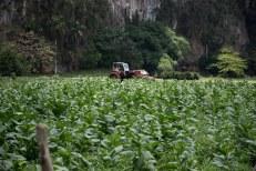 Plantação de tabaco em Viñares