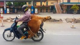 E mais uma vaca viva