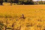 Campos de arroz pelo caminho